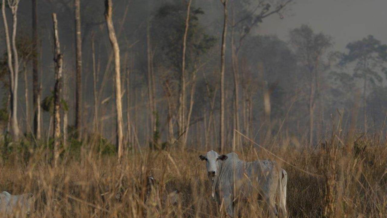 Cattle stand in a field as a fire burns an area in the Alvorada da Amazonia region in Novo Progresso, Para state, Brazil, Auguest. 25. Picture: AP