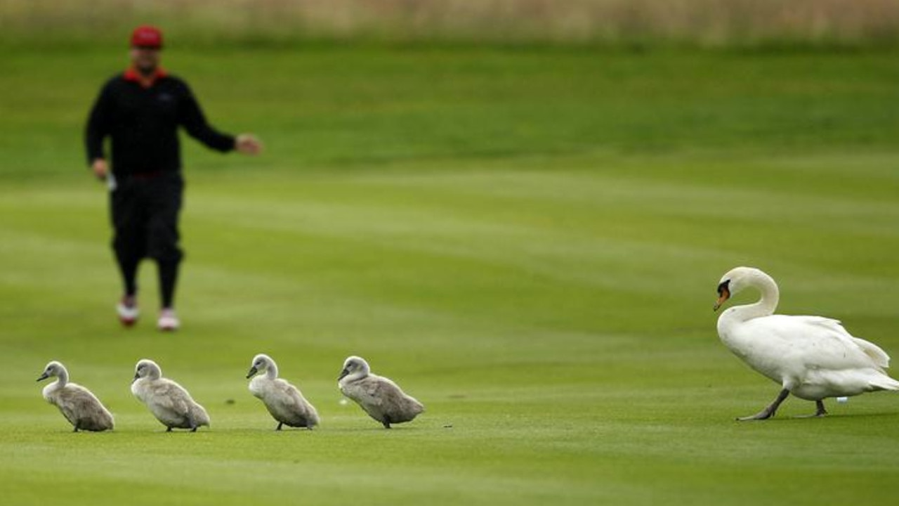 Sweden's Joel Sjoholm gestures towards a family of swans during the final of the International Golf Open in Pulheim, near Cologne, Germany, June 2012. Picture: Reuters