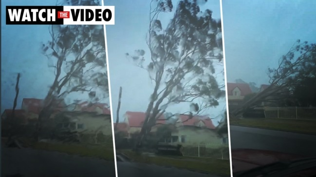 A large trees falls as gusty winds wreak havoc in Sussex Inlet