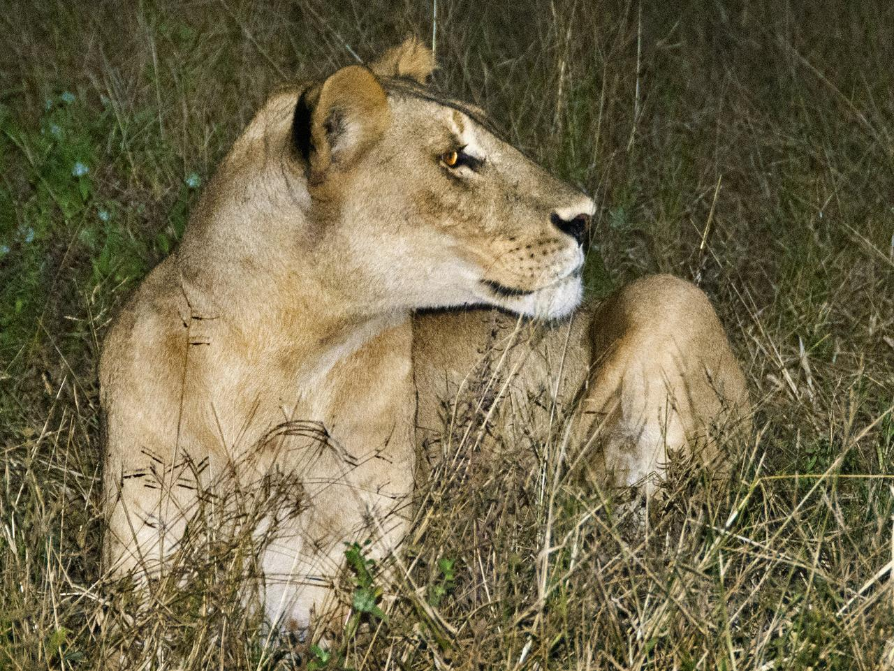 A lioness at last light in Chobe National Park. Picture: David May.