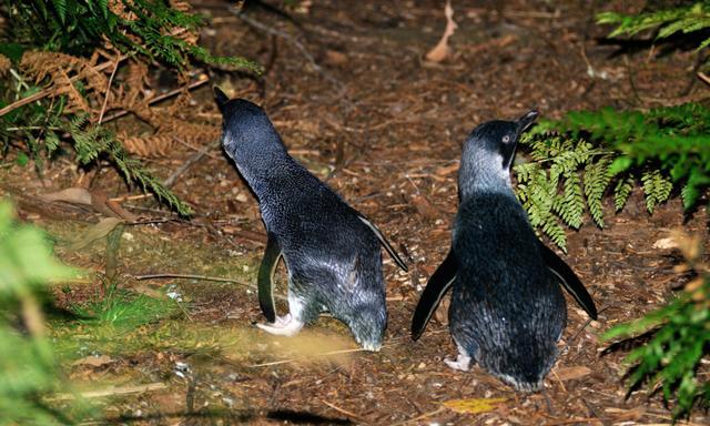 Penguins walk a trail back to their dens after fishing at sea, Tasman National park, Tasmania. Australia