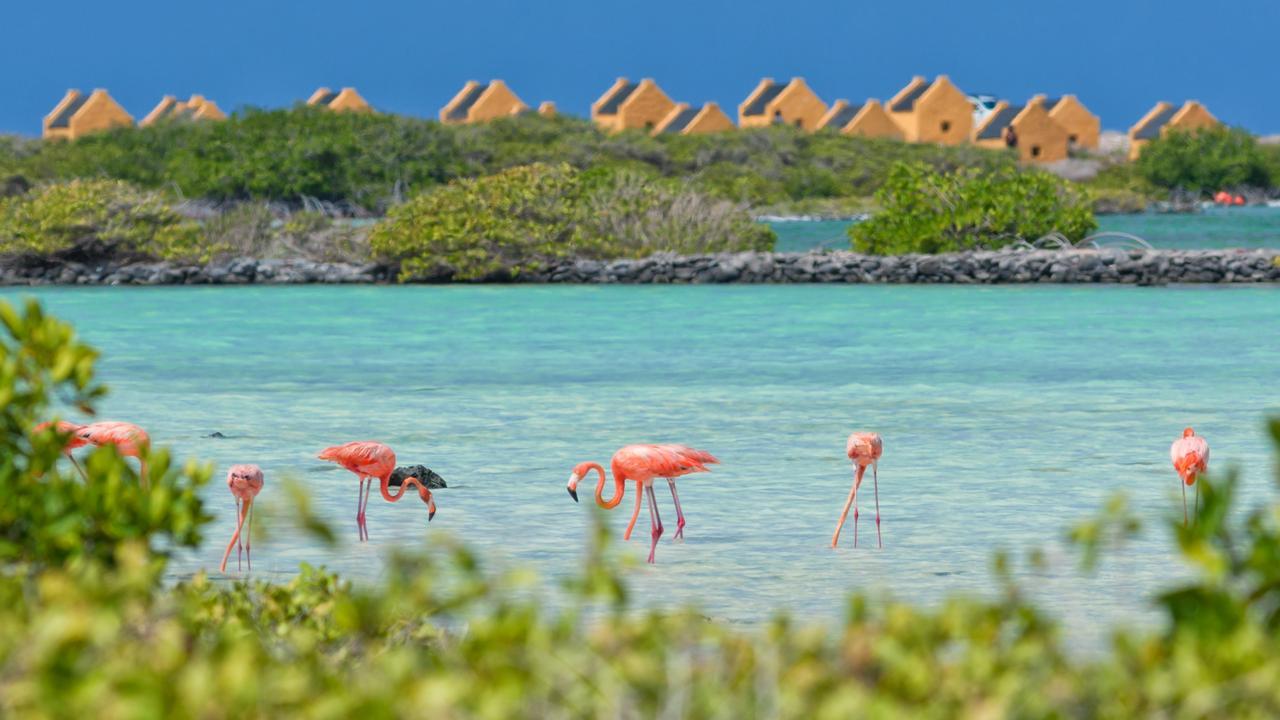Caribbean Flamingos on Bonaire
