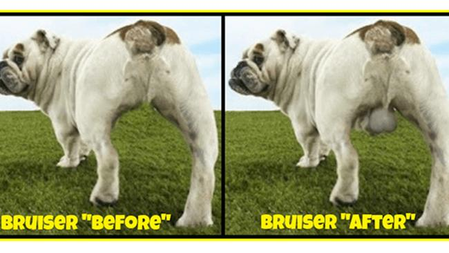 A dog before neuticles, and after having the testicle implants.