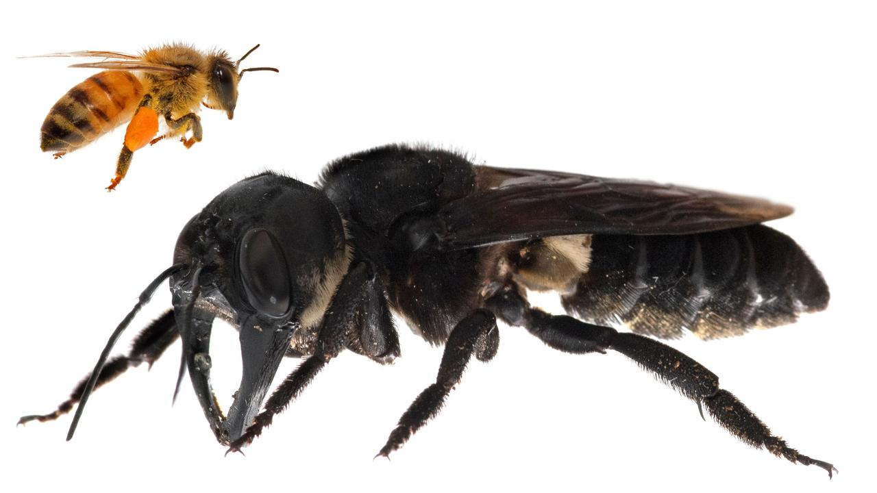 The massive living Wallace's giant bee found on an Indonesian island this year. Picture: AFP/ Global Wildlife Conservation/ Clay Bolt