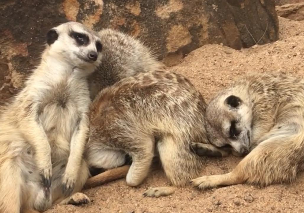 Meerkat Comically Struggles to Stay Awake