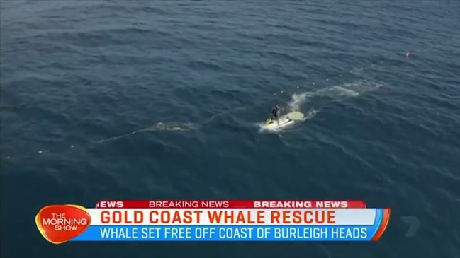 Race to save baby whale stuck in nets (7 News)
