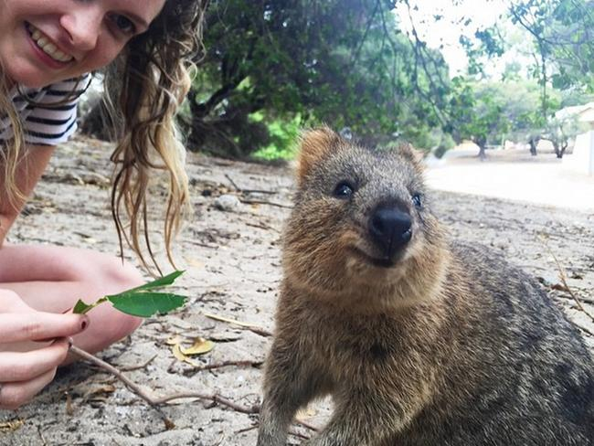 The quokka is an adorable marsupial that lives in Rottnest Island just off the coast of Perth, Western Australia. Their cuteness and willingness to pose in tourist selfies has sent the internet into a craze. Picture: gwiltypleasure/Instagram