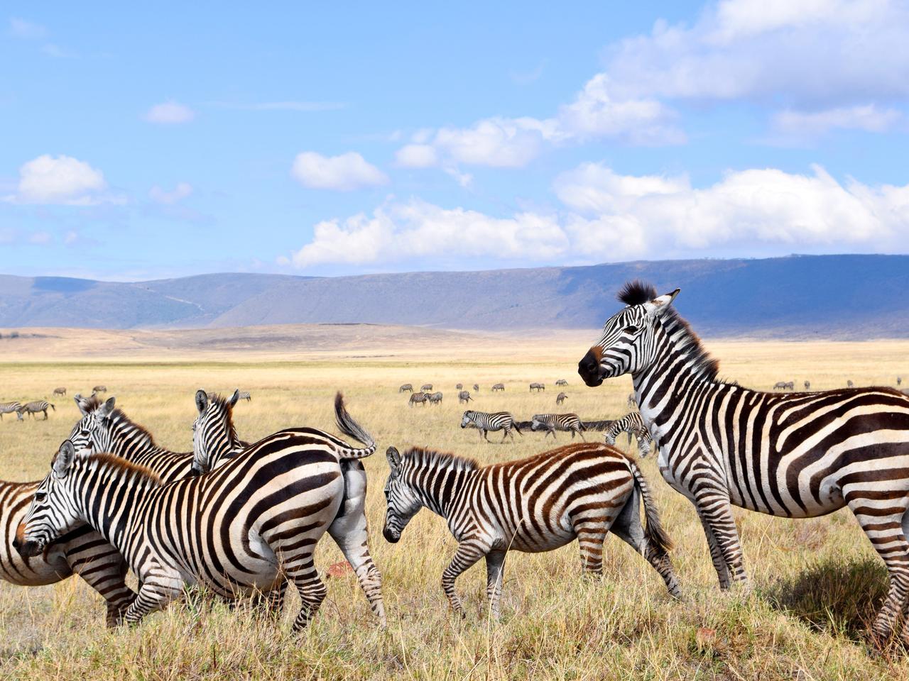 Zebras in Ngorongoro crater, Tanzania