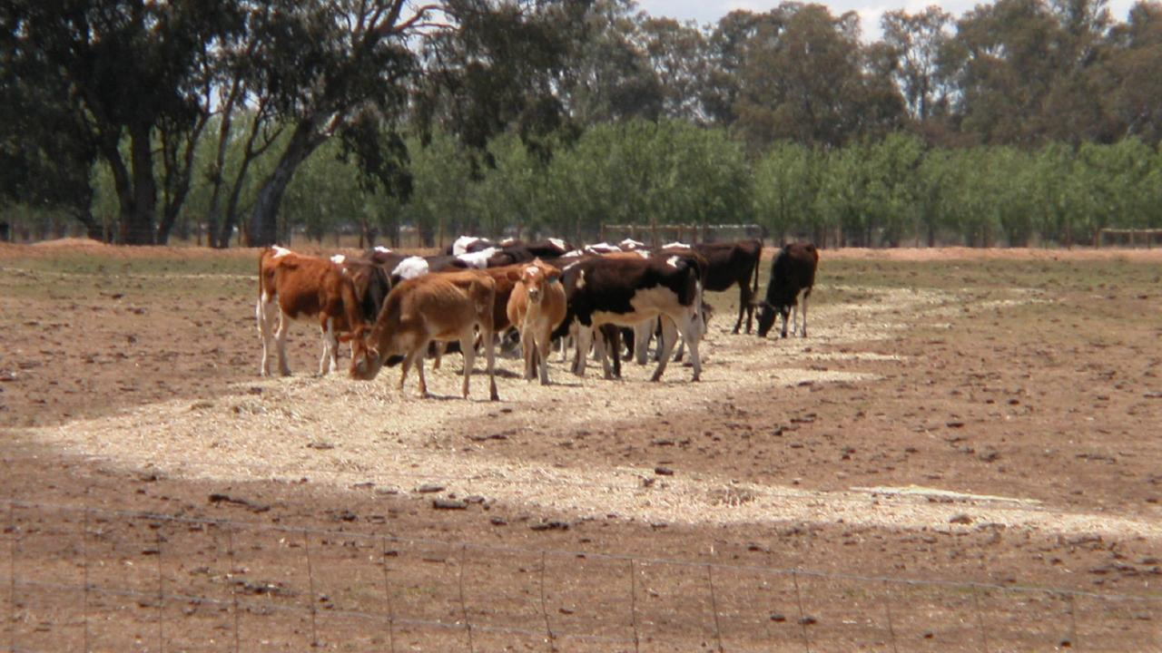 Dairy heifers tough out the drought in northern Victoria at Strathmerton.