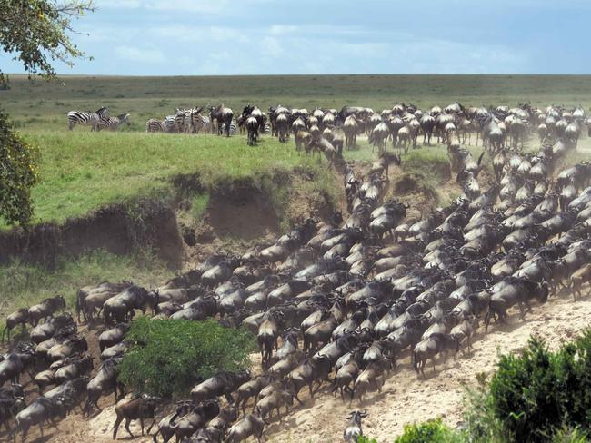 WILDEBEESTS Last but not least, arguably the film's most impressive scene is the wildebeest stampede. This epic phenomenon takes place in nature too, when every dry season millions of wildebeests make the journey from the Serengeti to the green grass of Masai Mara. On safari you'll be given a front-row seat to the action — but far enough away to avoid being trampled.   — Candice Marshall