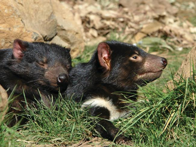 Discover the devil Get to know Tasmania's wildest resident: the Tasmanian devil. Join a day or night feeding tour at Devils@Cradle, a conservation centre at the entrance to the World Heritage listed Cradle Mountain-Lake St Clair National Park, or at Bonorong Wildlife Sanctuary, just north of Hobart. Or head south-east to the Tasmanian Devil Unzoo – a zoo without cages – and buckle up for a 4WD Devil Tracker Tour, to discover first-hand how devil numbers are being monitored.Tasmanian Devils@Cradle. Credit:Kentish Council