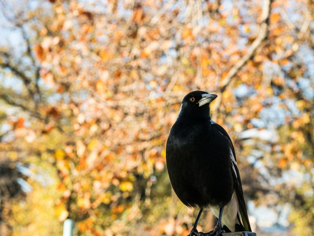 A baby girl has died after her mum was swooped by a magpie in Queensland. Picture: Getty