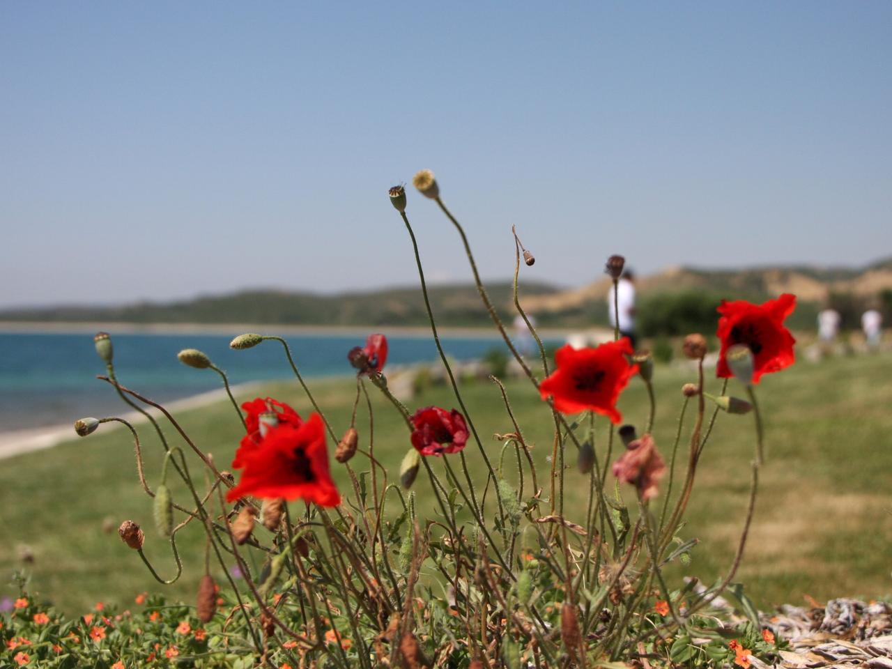 Poppies at Anzac Cove, Gallipoli