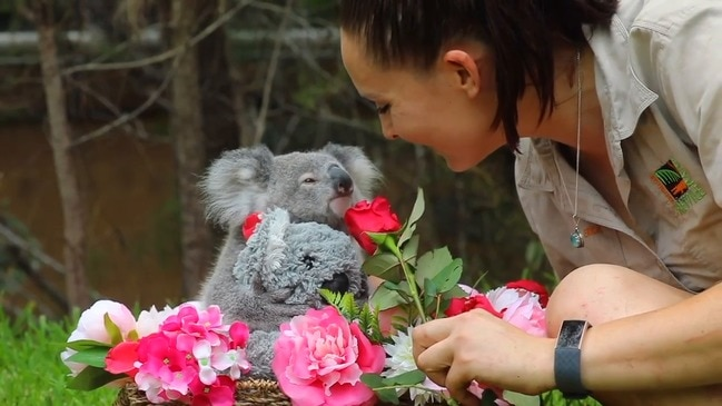 Koala Joey Showered in Love for Her First Valentine's Day