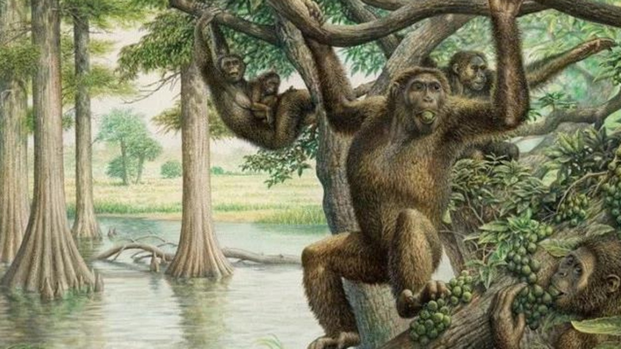 It's long been known that ancient human-like apes, such as Rudapithecus (pictured), swung through trees millions of years ago