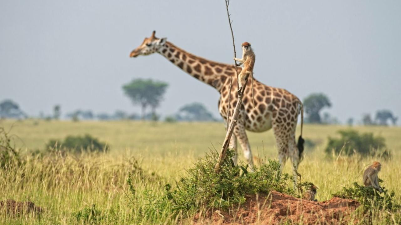 A monkey hitchhiking on the back of a giraffe. You don't see that every day. Picture: Comedy Wildlife Awards