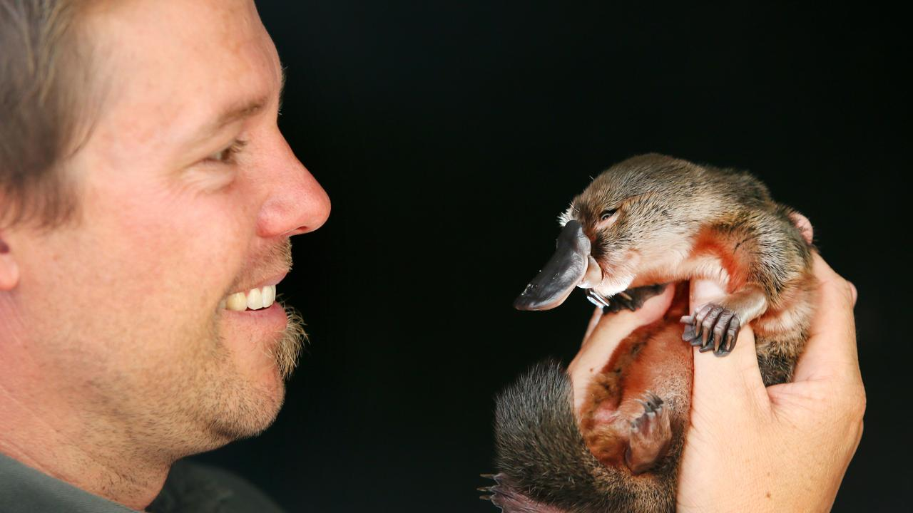 Tim Faulkner with a three-month-old platypus being nursed back to health, at the Australian Reptile Park, Somersby, NSW.  Picture: Peter Clark