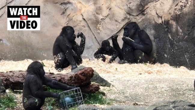 Gorilla baby plays and explores