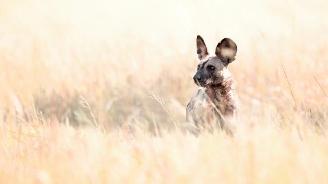 African Wild Dog in Chobe national Park, Botswana.