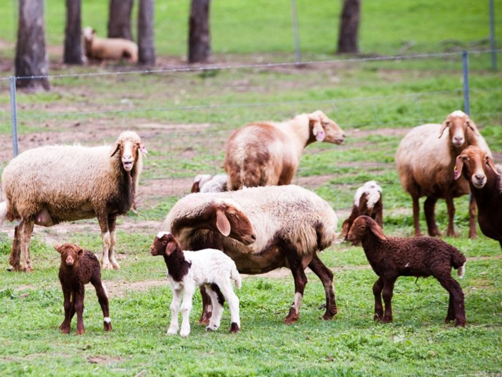 Awassi Queensland is back from the brink. The artisan sheep cheesery is about a 90 minutes west of Brisbane. Picture: Supplied