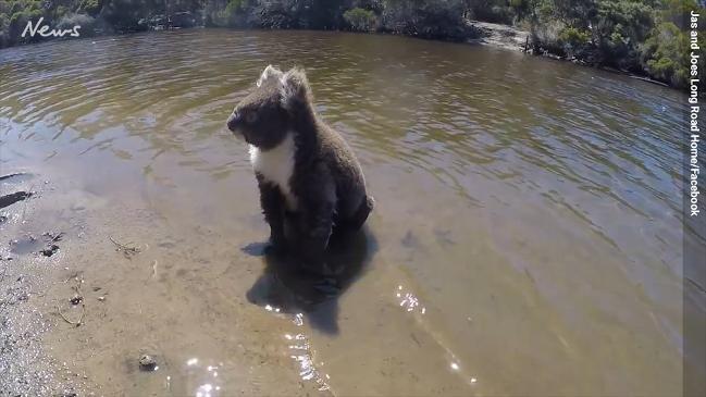Cute koala paddles across river