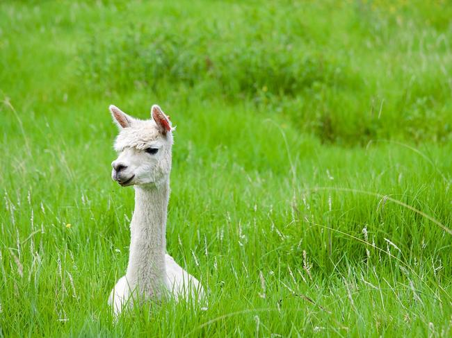 10. ALPACA FARM STAYGet back to nature with a stay at Minimbah Farm, on the South Coast. The 150-acre property is home to alpacas, as well as sheep, chickens, ducks, and abundant wildlife including kangaroos, wombats, kookaburras and echidna. Spend the night in one of the property's three cottages, each designed to cater for groups of all sizes.  See also:  • Discover Sydney's own wine trail  • Romantic getaways for couples in NSW