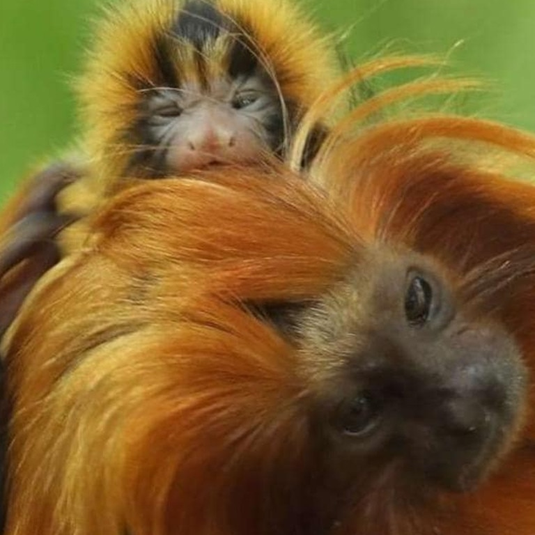 Golden lion tamarins are named after their lion-like manes. Picture: Bristol Zoo.Source:Supplied