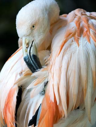 An undated supplied photograph of 'Chile' the Chilean Flamingo at Adelaide Zoo, South Australia. Adelaide Zoo has euthanised Australia?s last flamingo in captivity 'Chile' due to age-related health issues. (AAP Image/ Supplied by ZOOS SA) NO ARCHIVING, EDITORIAL USE ONLY
