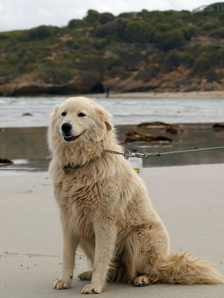Oddball the Maremma dog guards a colony of Little Penguins at Middle Island, near Warrnambool.