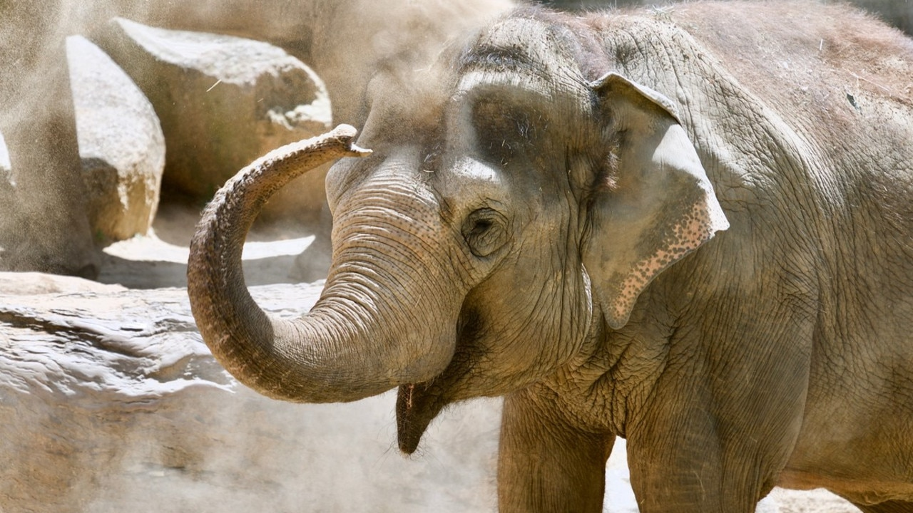 Mek Kapah the oldest Asian elephant. Picture: Zoos Victoria