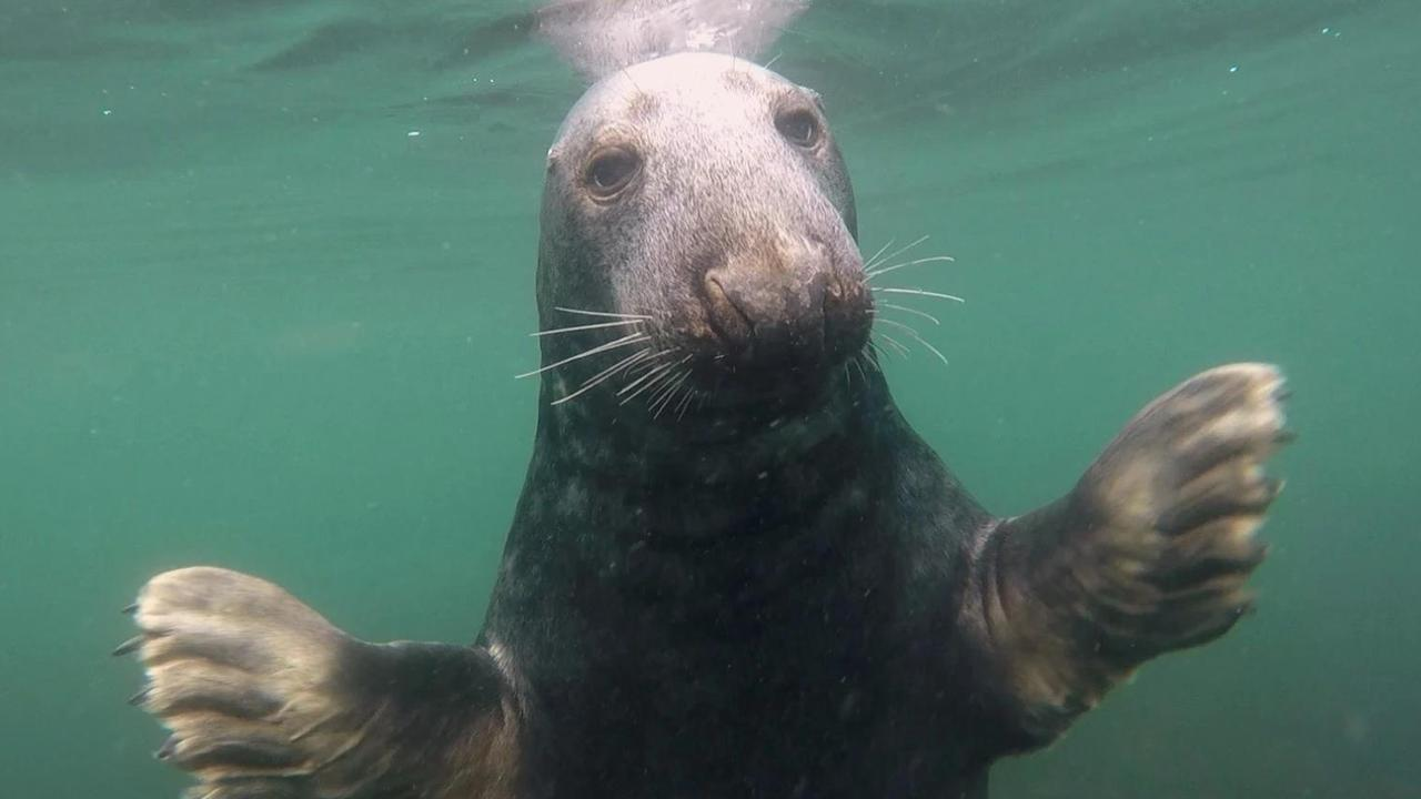 A grey seal swims up close to Ben Burville. Picture: Ben Burville