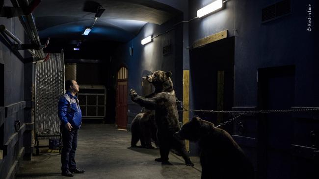 """12/25'Backstage at the circus' by Kirsten Luce, USA""""At the Saint Petersburg State Circus, bear trainer Grant Ibragimov performs his daily act with three Siberian brown bears. The animals rehearse and then perform under the lights each evening. In order to train a bear to walk on two feet, Kirsten was told that they are chained by the neck to the wall when they are young to strengthen their leg muscles. Russia and Eastern Europe have a long history of training bears to dance or perform, and hundreds of bears continue to do so as part of the circus industry in this part of the world.""""Picture: Copyright Kirsten Luce, Wildlife Photographer of the Year"""