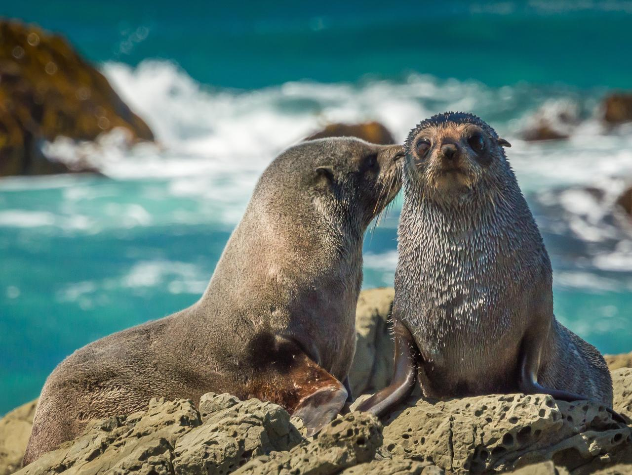 Mother fur seal kissing newborn young