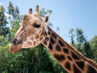 Australia Zoo giraffe, Forest, has officially made it into the Guinness World Records for being the tallest living giraffe. Photo: Australia Zoo