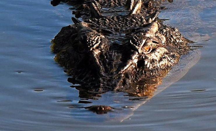 A crocodile (not this one) has been spotted in the Burnett River. Picture: DEAN LEWINS