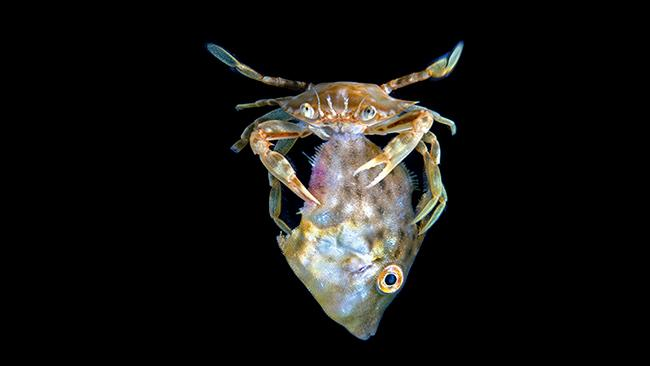 27/42 Florida, USA A sargassum swimming crab feasts on a filefish off the coast off Palm Beach, Florida in the United States. Picture: Steven Kovacs/Ocean Art 2020