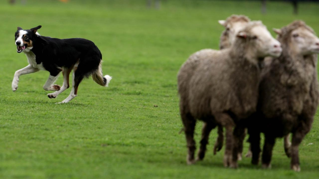 Pip Hudson, patron of the Australian Sheep Dog Workers Association, with his working dog Rain competing in the 2009 Supreme Australian Working Sheepdog Championships at Strathalbyn, southeast of Adelaide, South Australia.
