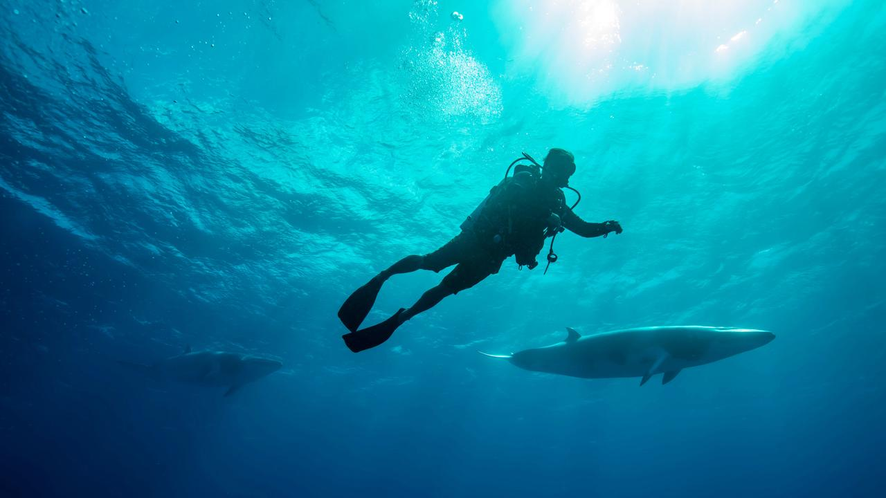Dive with dwarf minke whales. Picture: Tourism and Events Queensland