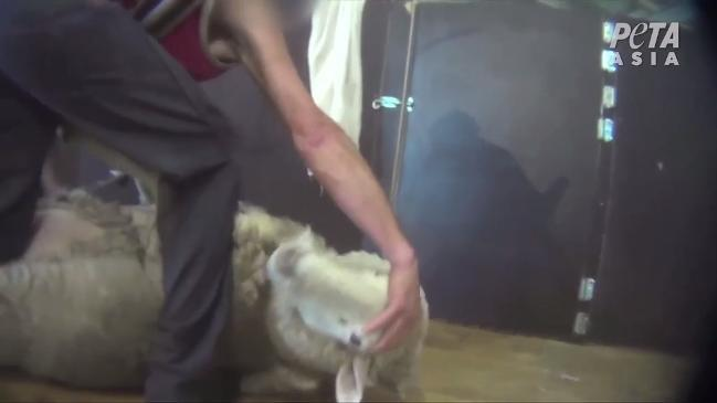 PETA condemns wool industry, calls for shoppers to stop buying wool. GRAPHIC CONTENT