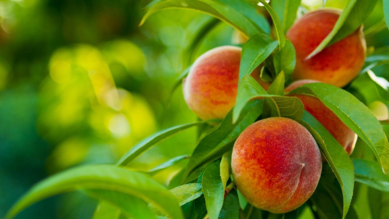 Peaches on Tree