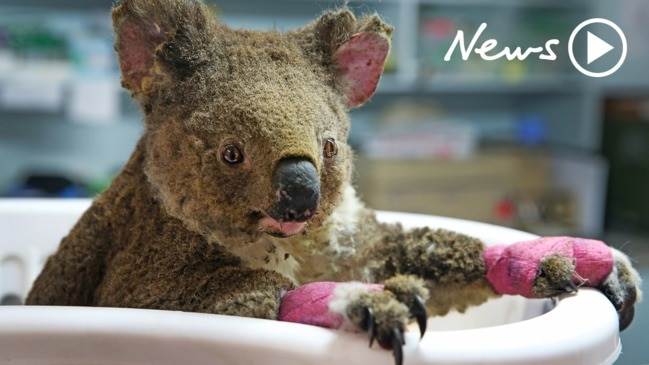 Koala population devastated by NSW bushfires