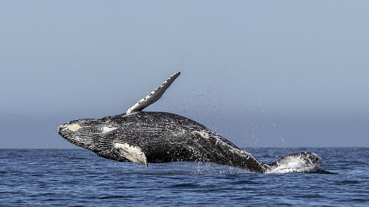 A humpback whale (Megaptera novaeangliae) jumps out of the Pacific Ocean's waters in Los Cabos, Mexico. Picture: AFP