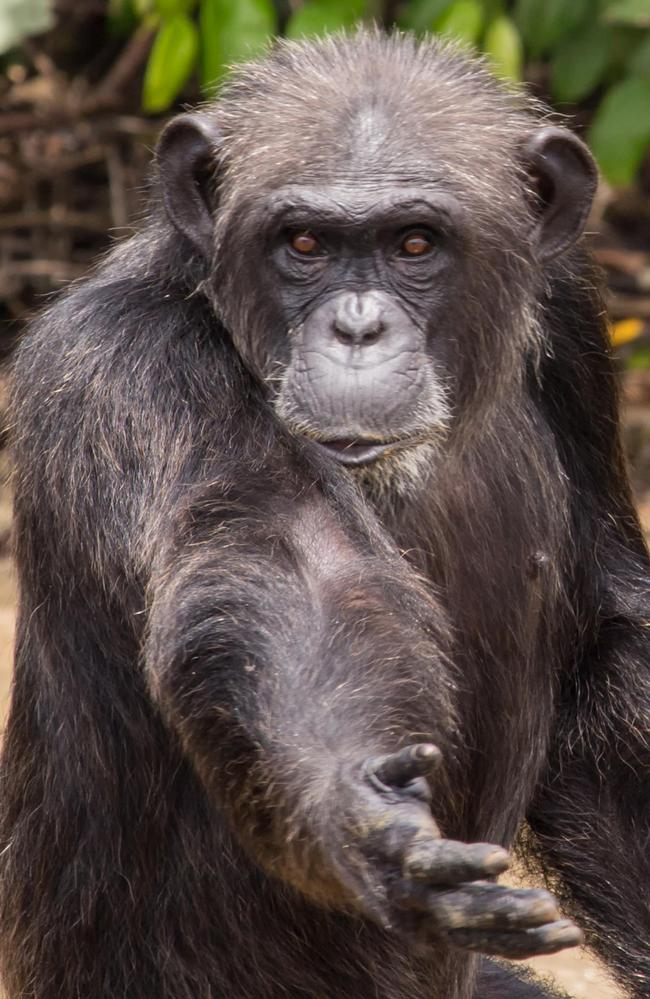 The chimps are riddled with infectious diseases after spending years in a controversial virus testing laboratory. Picture: Alamy