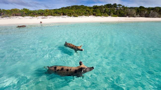 Best beach in the Bahamas? 'Pig Beach' on Big Major Cay One of the Instagram top things to do in the Bahamas, 'Pig Beach' (named for obvious reasons) is accessible only by boat. Marvel as paddling pigs make their way to your boat, or spy them simply relaxing on the sand.