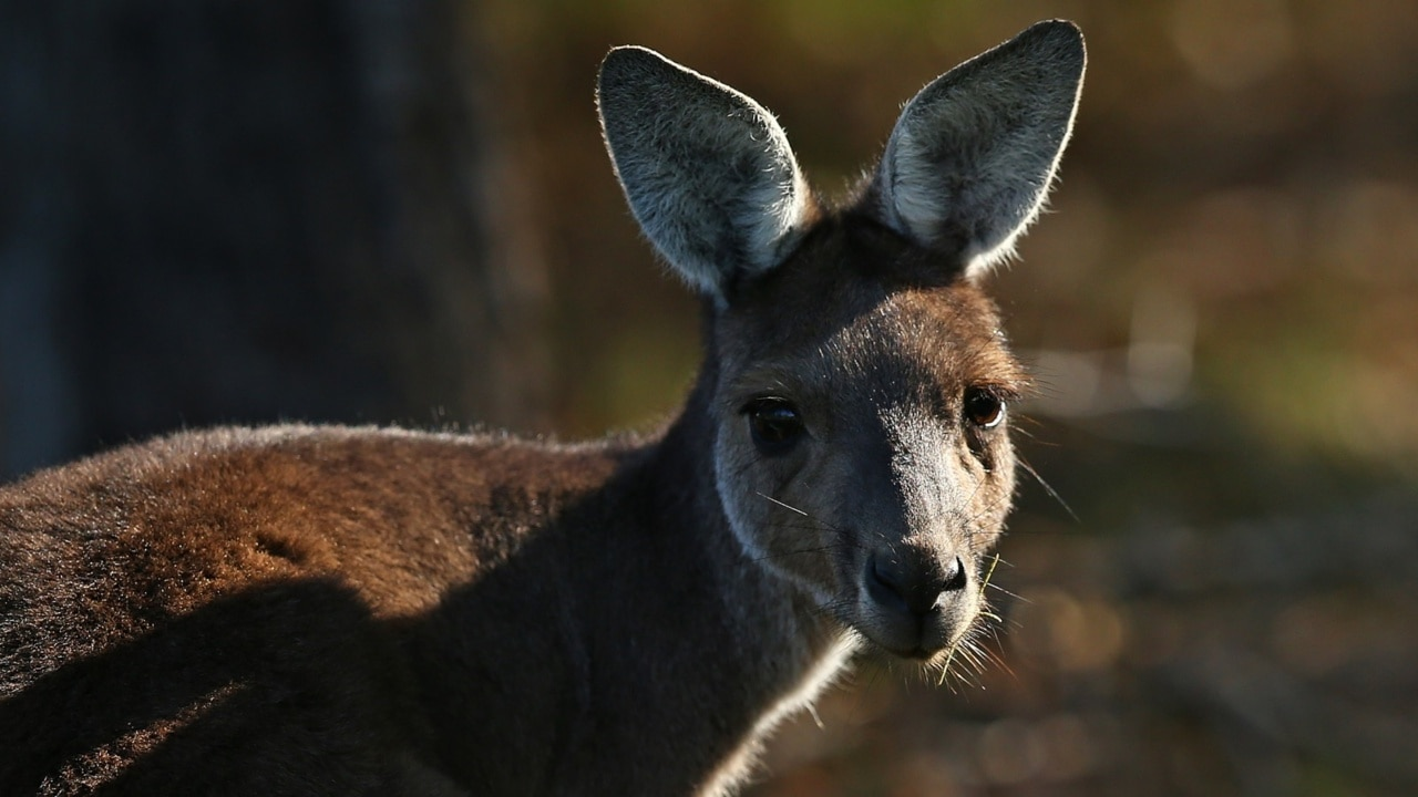 Woman scratched and stalked by kangaroo reveals bizarre theory behind attack