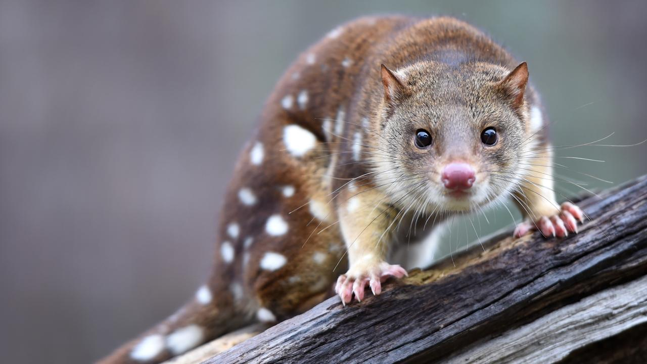 Spot-tailed quolls will be among the native species protected by the predator-proof fence at Wilsons Promontory National Park. Picture: Jason Sammon