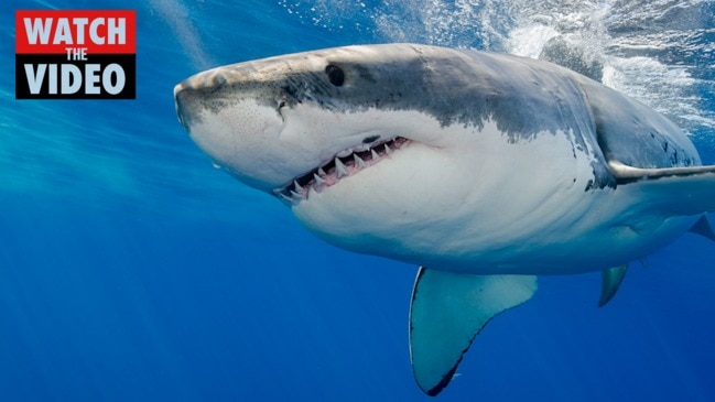 Is this the world's largest great white shark?
