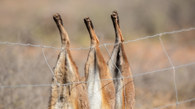 Primary producers in South Australia will receive $10 per fox scalp in a new bounty program to cull the pest population. Picture: Getty Images