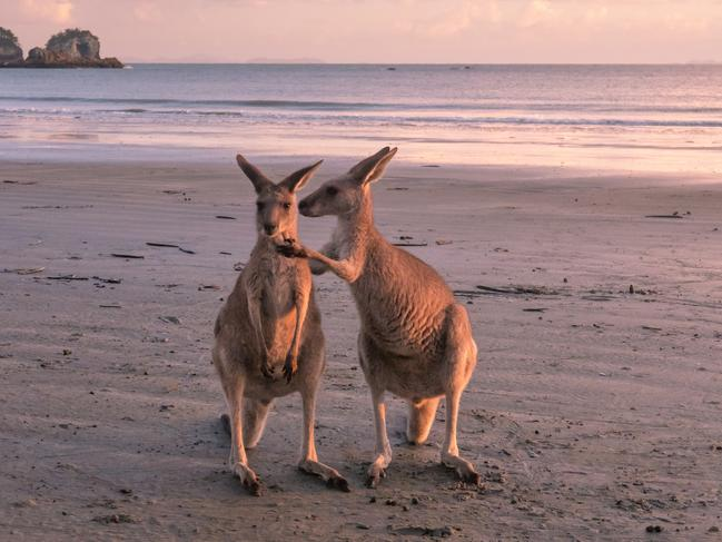 WAKE UP WITH THE WALLABIES There's plenty of room for social distancing when you mingle with the locals at Casuarina Beach, Cape Hillsborough – a mob of eastern grey and agile wallabies who gather each morning to fossick for seaweed (and don't mind a photo or two).