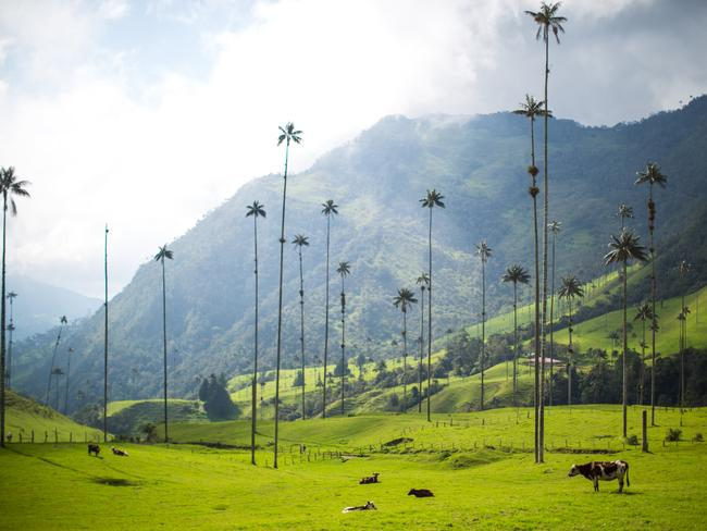 69. STAND BENEATH COLOMBIA'S GIANT PALM TREES Colombia's Cocora Valley looks straight out of a cartoon. Crazily tall (60m) pin-straight wax palms are flanked by steep mountains with bright blue skies above, and cows munching the fluorescently green grass below.